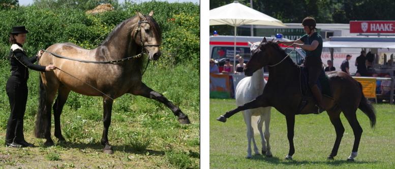 Spanischer Gruß am Langen Zügel (Esperanzador) und unter dem Reiter mit Halsring (Fàscino)
